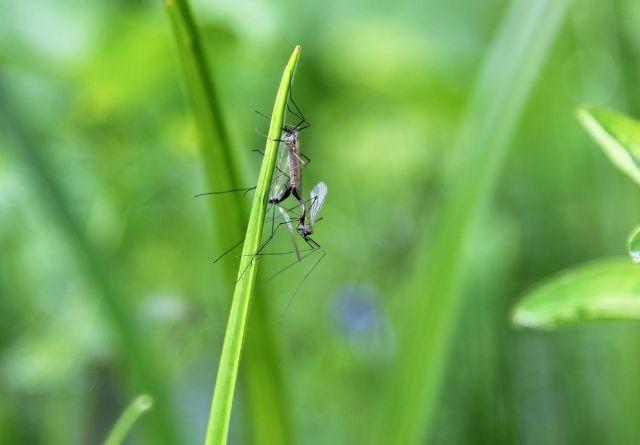 La planta de la citronela desprende un olor especial que ahuyenta a los mosquitos.