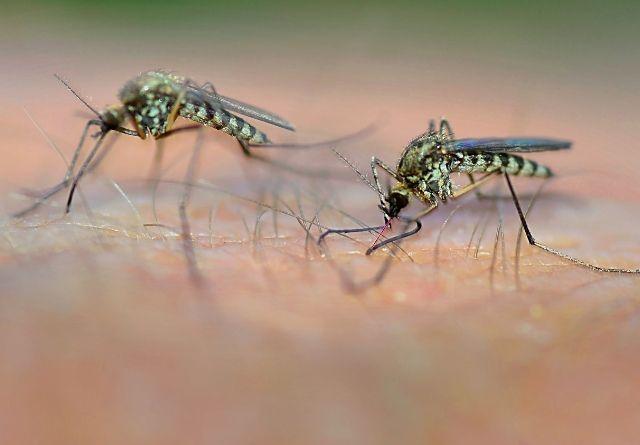 Para evitar los mosquitos, las plantas de citronela son muy eficaces.